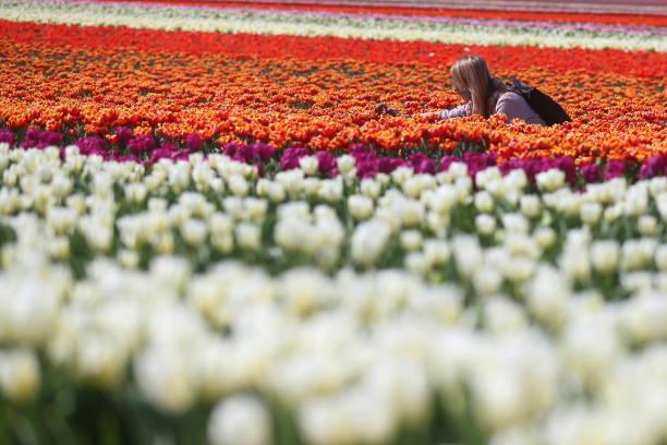 DEU: Tulips In Bloom Near Grevenbroich