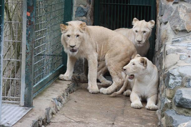 DEU: White Lions Arrival