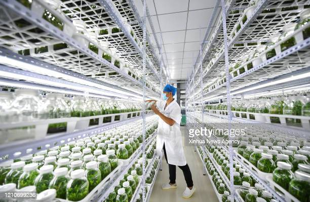 HAIKOU April 21 2020 A member of staff works at a breeding lab for dendrobium plantlets in Shicha Village in Haikou south China's Hainan Province...