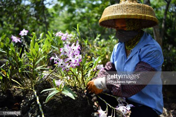 HAIKOU April 21 2020 Villager Wang Xiuwen works at a dendrobium plantation in Shicha Village in Haikou south China's Hainan Province April 21 2020...