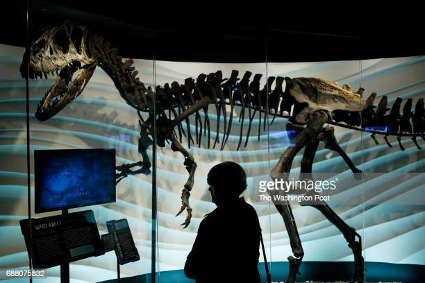 PETERSBURG KY April 21 A visitor to the biblicalthemed Creation Museum looks at an Allosaurus skeleton behind glass at the Creation Museum in...