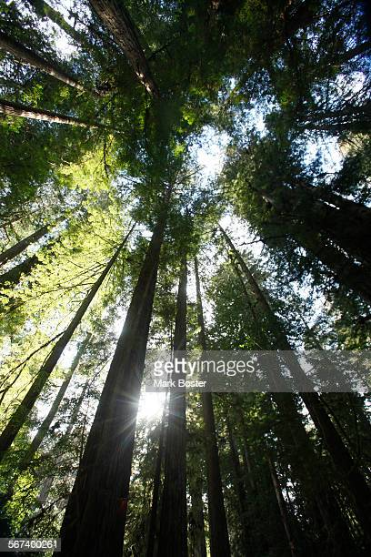 The sun peeks through surrounding Humboldt redwoods and fir trees at Prairie Creek Redwoods State Park April 22 2014