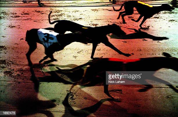 A general view of greyhounds competing in race three during the Monday race night held at Wentworth Park Racing Track in Sydney Australia on 15th...