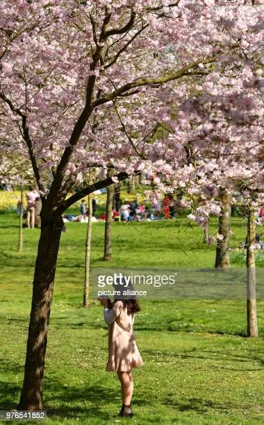 A visitor stands in the castle garden under a flowering Japanese cherry tree The administration expects more than 30000 visitors to the...