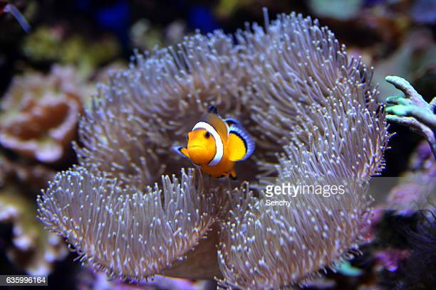 aqua life - orange fin clownfish stock photos and pictures