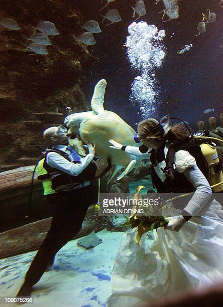 Aquarists Kathryn O'Connor looks on while partner James Oliver fends off a giant green sea turtle during an underwater blessing on Valentine's Day in...