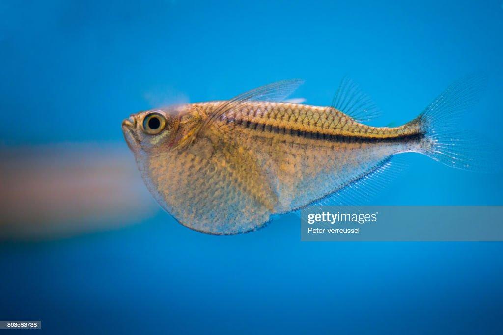 Aquarium Fish Common Hatchetfish Stock Photo Getty Images