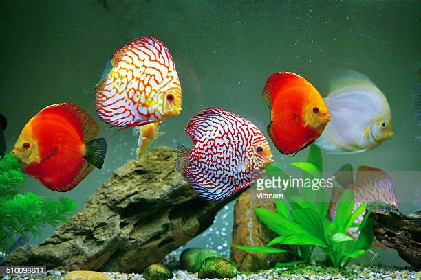 Aquarium of discus