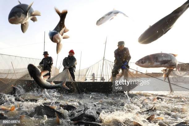 Aquatic product farmers net fish at Maoer Lake in Xuyi County on December 28 2017 in Huaian Jiangsu Province of China Water product farmers in Xuyi...