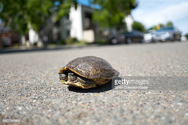Aquatic turtle withdrawn into its shell while in the process of crossing an asphalt road on a sunny day California 2016
