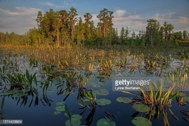 aquatic vegetation and cypress trees, okefenokee swamp, georgia, usa - swamp stock pictures, royalty-free photos & images