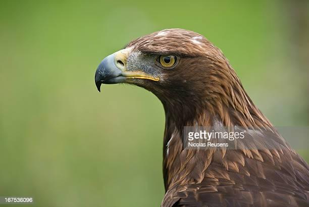 Aquila chrysaetos (águila real)