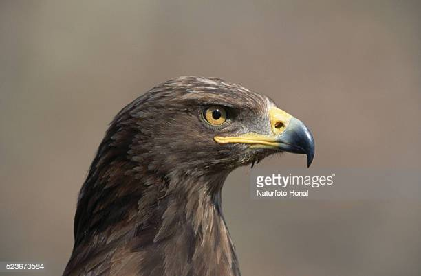 Aquila Pomarina Eagle