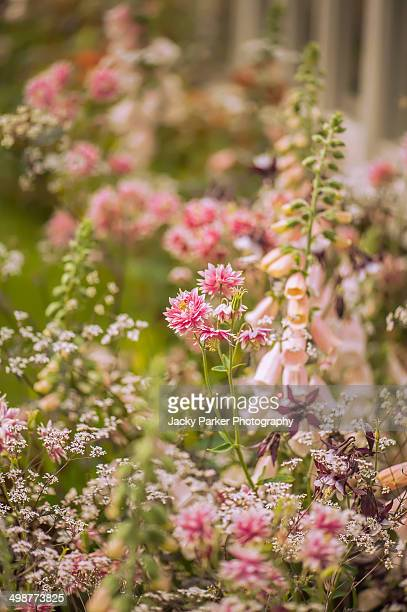 aquilegia & foxglove flowers chelsea flower show - chelsea flower show stock pictures, royalty-free photos & images