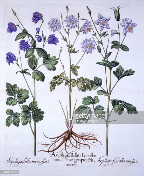 Aquilegia from 'Hortus Eystettensis' by Basil Besler pub 1613 handcoloured engravi I Aquilegia stellata flore albo minutillimis nigris punctis ornata...