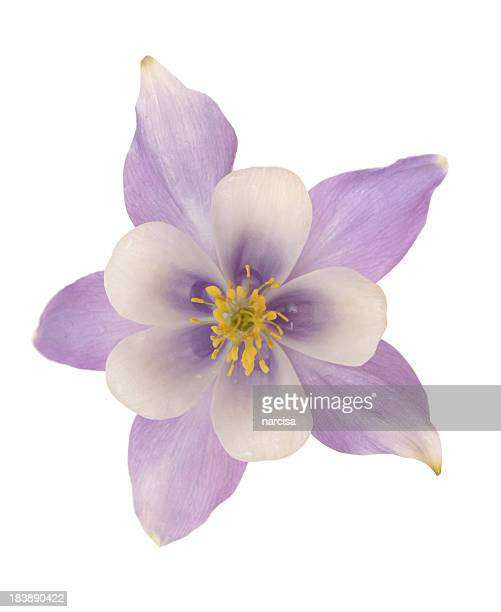 Aquilegia or columbine isolated on white
