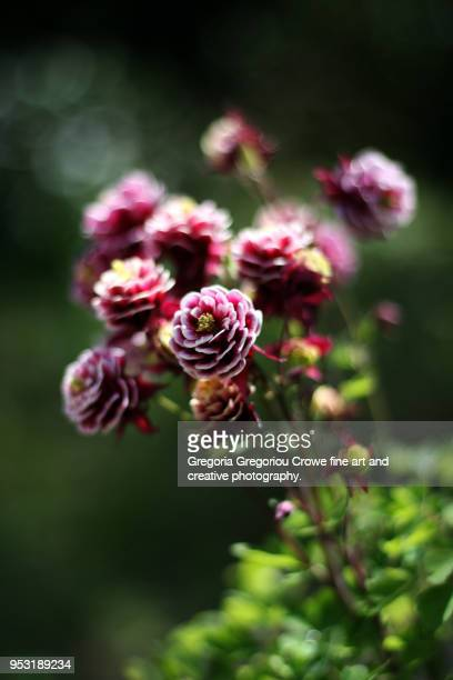 aquilegia vulgaris - gregoria gregoriou crowe fine art and creative photography stock pictures, royalty-free photos & images