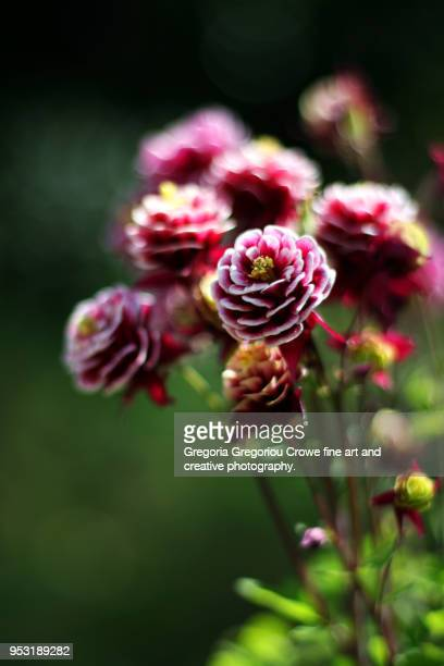 aquilegia vulgaris - gregoria gregoriou crowe fine art and creative photography stock-fotos und bilder
