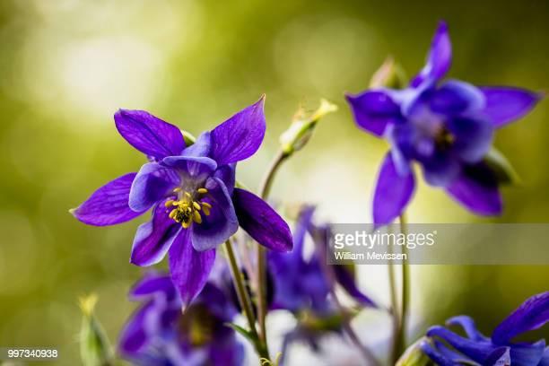 aquilegia vulgaris - william mevissen 個照片及圖片檔