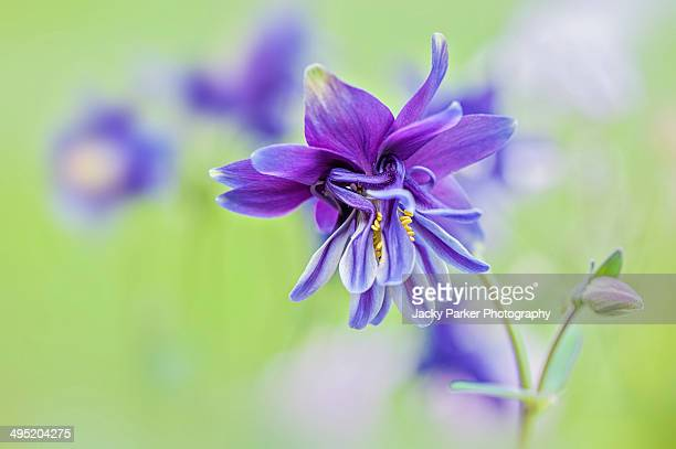 aquilegia vulgaris purple flower - columbine flower stock pictures, royalty-free photos & images