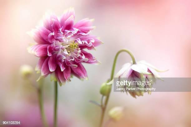Aquilegia vulgaris var. stellata 'Nora Barlow' (Barlow Series) pink flower also known as the Columbine or Granny's Bonnet