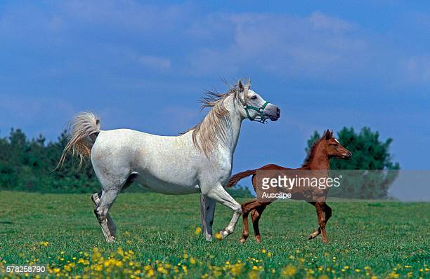 Arab horse Equus caballus mare and foal running in summer field