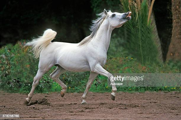 Arab horse Equus caballus prancing whisking its highset tail exhibiting flehmen response scenting the air