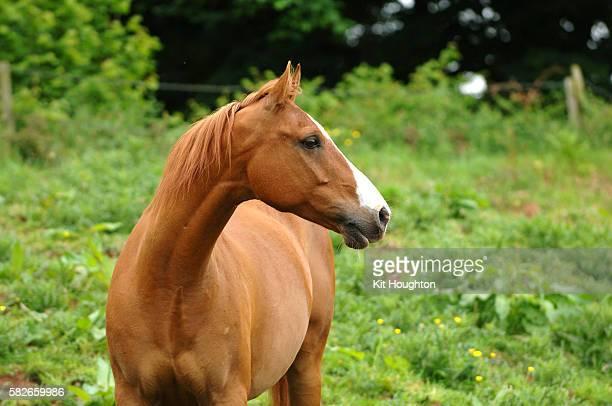 Arab Horse head study