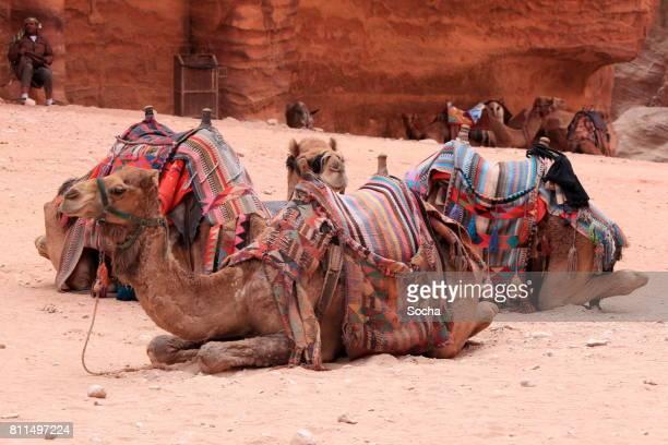 Homme arabe avec chameaux en attente pour les touristes, Petra, Jordanie