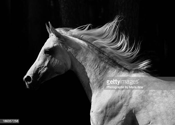 arab stallion - equestrian animal photos et images de collection