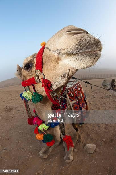 Arabian Camel Dromedary Camelus dromedarius Cairo Egypt