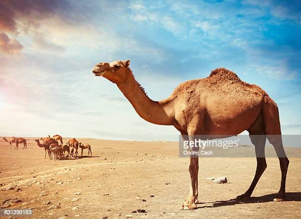Arabian camels in the desert at Salalah