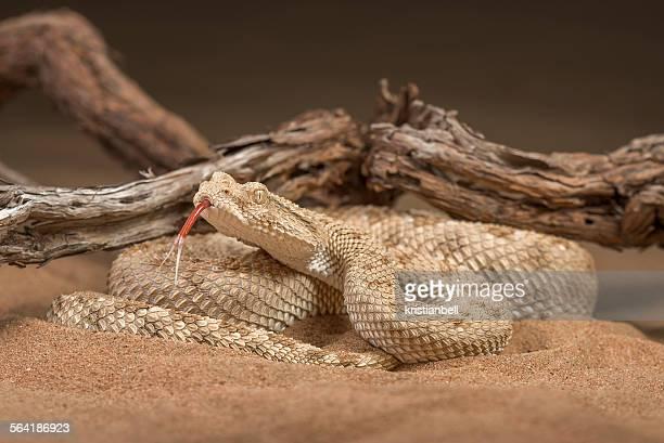Arabian desert horned viper (Cerastes gasperettii), Sharjah, UAE