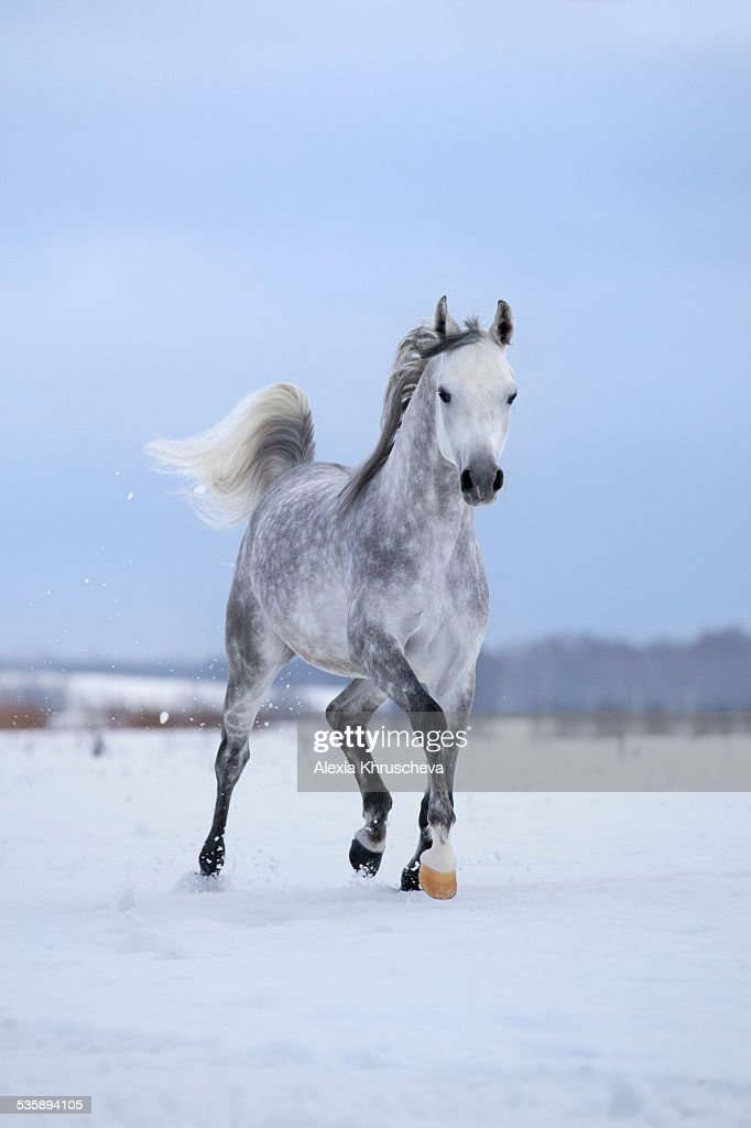 Arabian gray horse runs on snow field. : Stock Photo