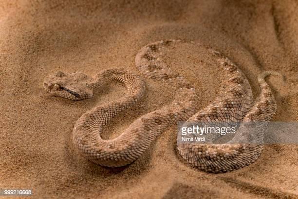 Arabian Horned Viper - sandy trap