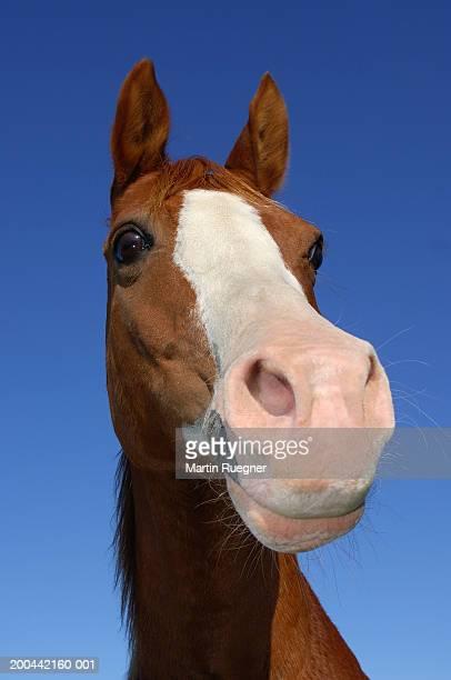 Arabian horse against clear blue sky, close-up