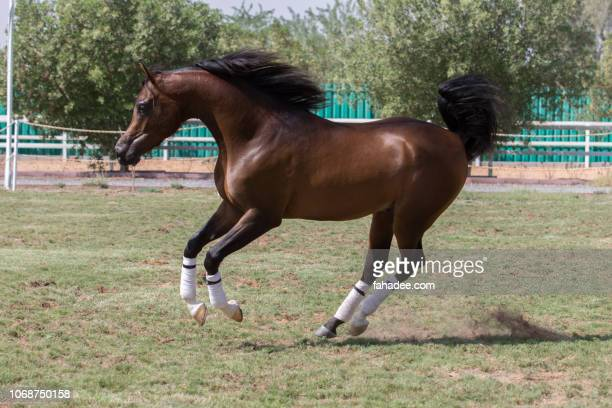 arabian horse in action - thoroughbred horse stock photos and pictures