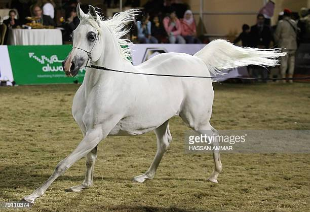 Arabian horse Kharelle owned by Saudi Prince Fahd Bin Sultan bin Abdul Aziz alSaud takes part in the Stallions competition during the AlKhalediyah...