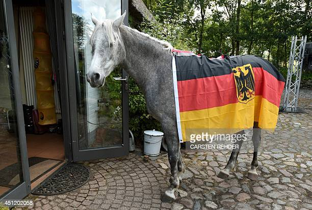 Arabian horse Nasar carries the German flag while he enters an old farm house in Holt northern Germany on June 25 an event to predict the outcome of...