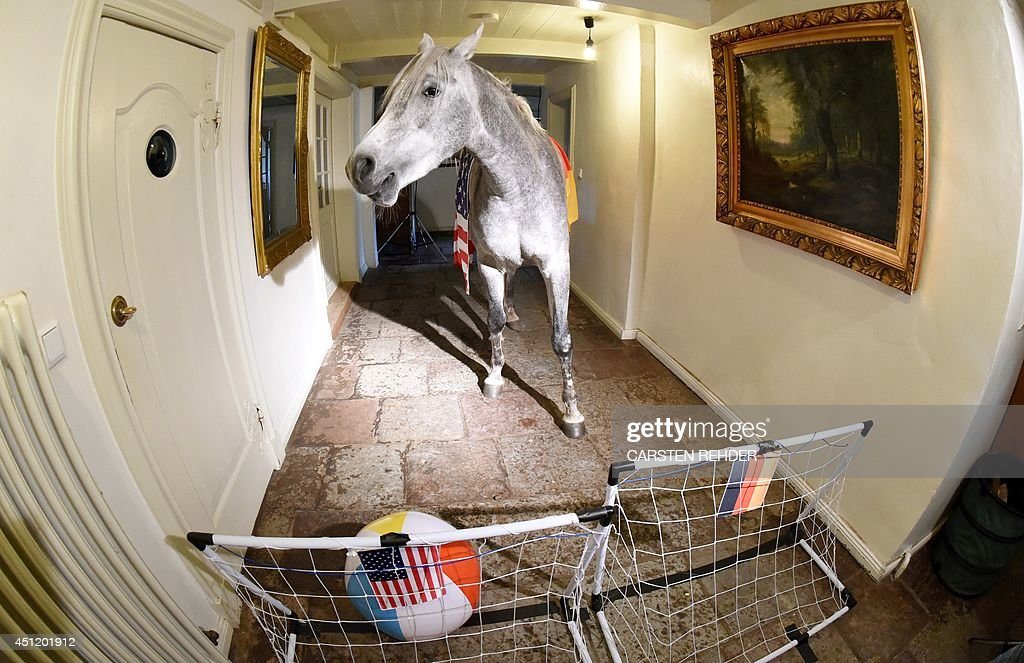 Arabian horse Nasar plays the ball into the US goal, set up in a corridor of an old farm house in Holt, northern Germany on June 25, 2014, an event to predict the outcome of the upcoming World Cup Championship 2014 football match USA vs Germany on June 26. The owner of the horse, medical doctor Stephanie Arndt, took the three-year-old inside the house while hurricane 'Xaver' swept over the region. Since then Nasar likes to stay indoors and currently serves as the official oracle for an online magazine in northern Germany. OUT