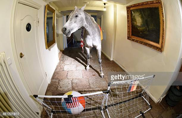 Arabian horse Nasar plays the ball into the US goal set up in a corridor of an old farm house in Holt northern Germany on June 25 an event to predict...