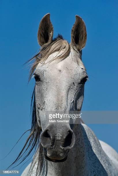 Arabian horse on prairie