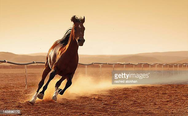 arabian horse - horses running stock pictures, royalty-free photos & images