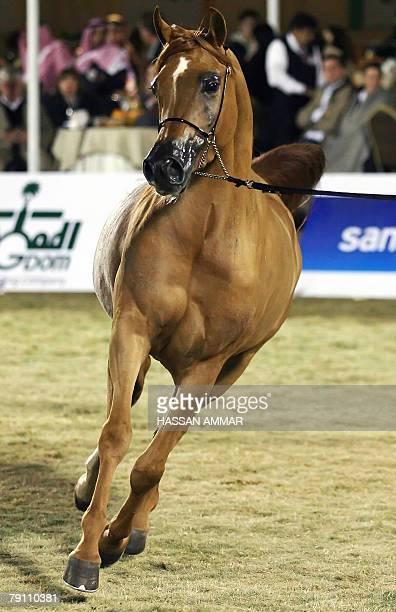 Arabian horse Porcelainna takes part in the Stallions competition during the AlKhalediyah first international Arabian horse show in Tebrak 70 Kms...