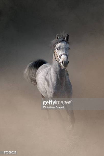 Arabian horse running through dust