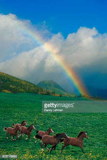 Arabian Horses and Rainbow