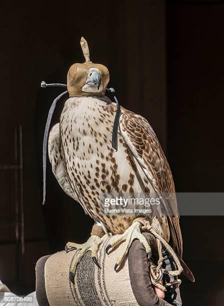 Arabian hunting falcon with hood