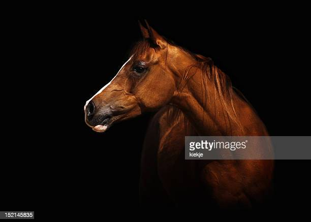 arabian mare - thoroughbred horse - fotografias e filmes do acervo