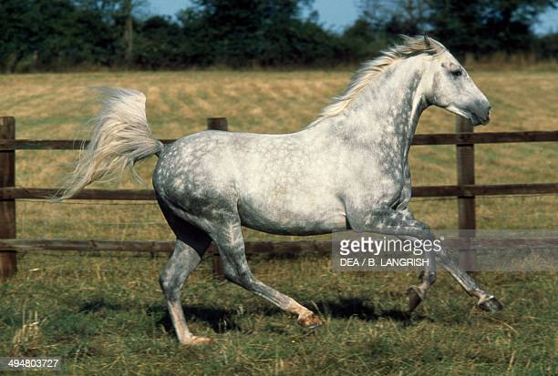 Arabian or Arab horse Equidae