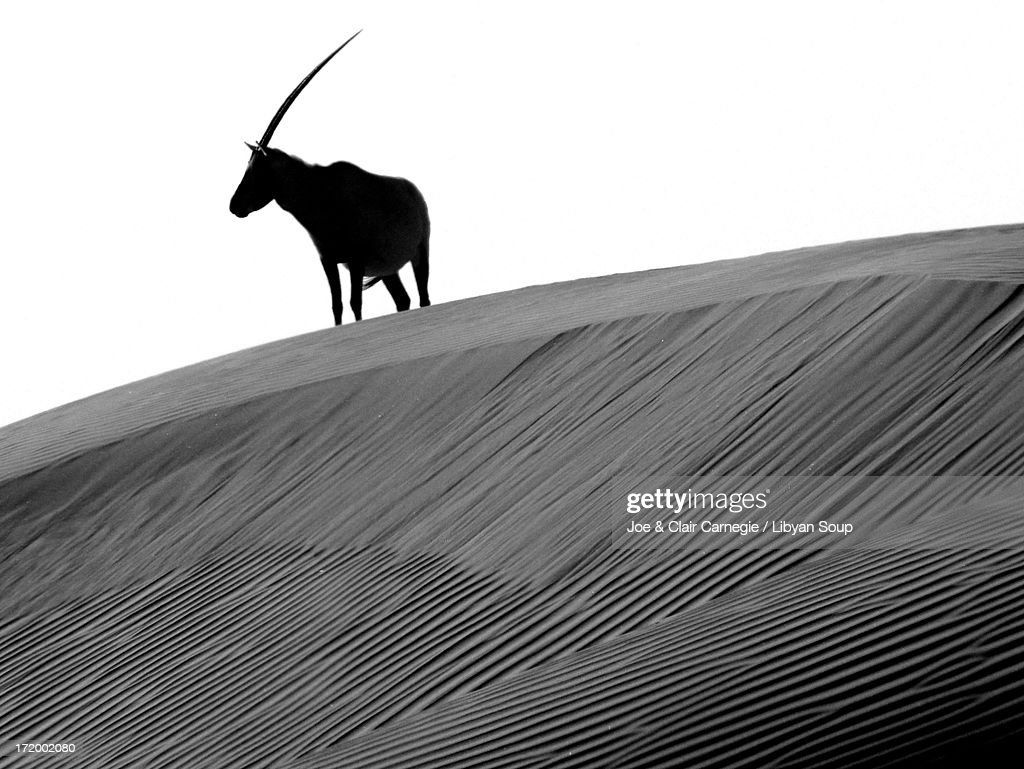 Arabian oryx and the myth of the Unicorn : Stock Photo